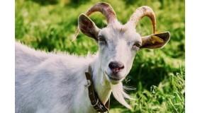 Koza, masło i ser - przyrodnicze spotkanie rodzinne